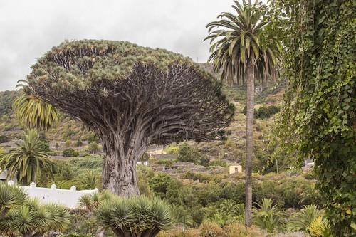Tenerife : Icod de Los Vinos